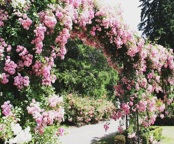 Rose Arch Rose🌹 Rose Garden Portland