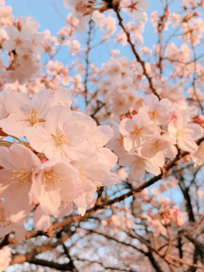 spring EyeEm Selects Flowering Plant Flower Plant Fragility Tree Blossom Vulnerability  Growth Springtime Branch Cherry Blossom Freshness Beauty In Nature Petal Twig Low Angle View Close-up Pink Color Nature No People
