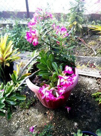 Plant Photography Pinkflowers Desertrose
