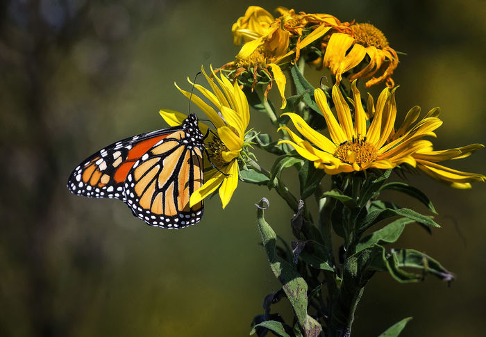 Into the heart of the flower Maryland Animal Animal Themes Animal Wildlife Animal Wing Animals In The Wild Beauty In Nature Butterfly - Insect Flower Flower Head Flowering Plant Insect Monarch Butterfly One Animal Outdoors Petal Plant Pollen Pollination Sunflowers Sunfower Yellow