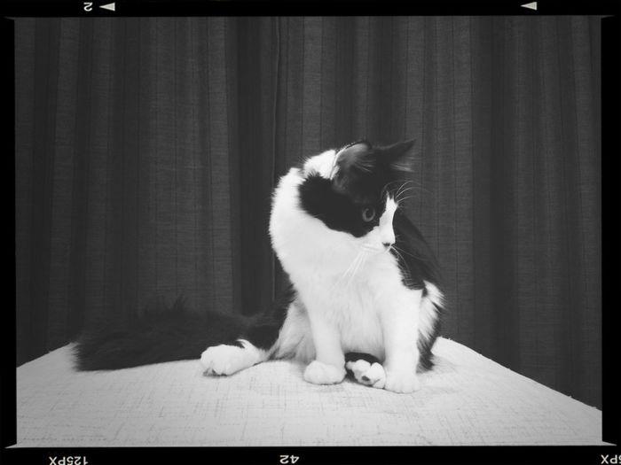 Cat Neko Nyaon Black And White