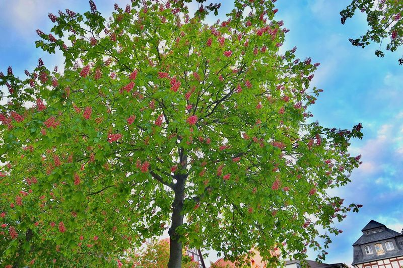Kastanienblüte Plant Growth Tree Low Angle View Nature Sky No People