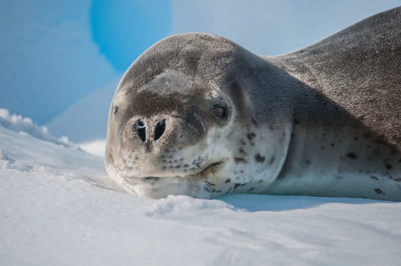 Close-up of crabeater seal on iceberg
