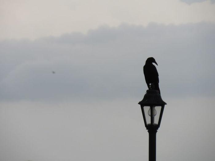 Bird perching on a street light