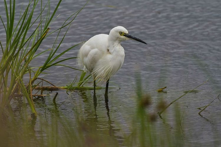little egret Bird Animal Wildlife Lake Animals In The Wild One Animal Reflection Water Stork Outdoors Nature Ibis Beak Day Foraging No People Animal Themes Close-up Nikonphotography Nikon D750 Sigma 150-600c LONDON❤ Bird Photography Summer