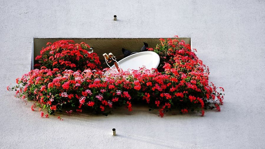 High angle view of red flowering plant against wall