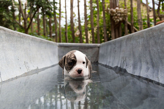 Dog Pets Water Domestic Animals One Animal Outdoors English Bulldog Portrait Mammal Day Looking At Camera Swimming Nature No People Swimming Pool Animal Themes Tree Retriever EyeEmNewHere EyeEm Best Shots Oldeenglishbulldogges Pet Animal Puppy