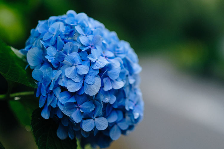 Flowering Plant Flower Blue Close-up Plant Beauty In Nature Vulnerability  Fragility Petal Inflorescence Flower Head Purple No People Growth Hydrangea Focus On Foreground Freshness Day Nature Hyacinth Outdoors Bunch Of Flowers
