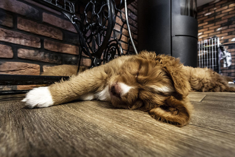 Close-up of a dog sleeping on floor