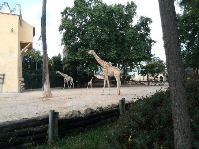 Giraffes Zoo Animals  Lx