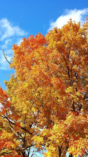 Tree Fall Autumn Autumn Colors Leaves Fall Leaves Autumn Leaves Sky Autumn Sky 가을 가을하늘 단풍 캐나다 나무 가을 정서
