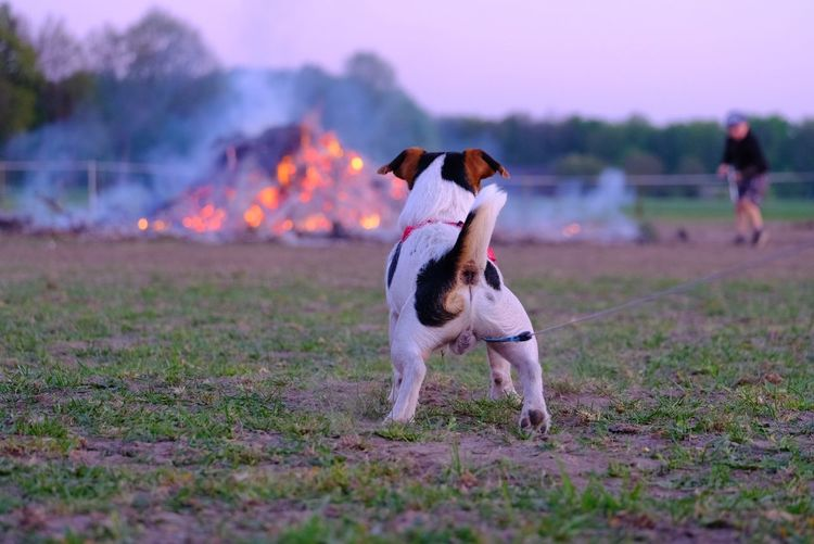 Dog standing on field in front of fire