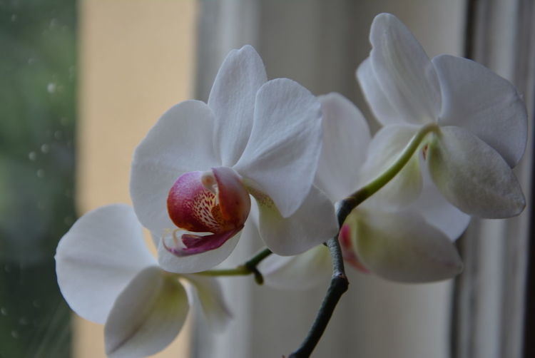 Close-up of white orchid