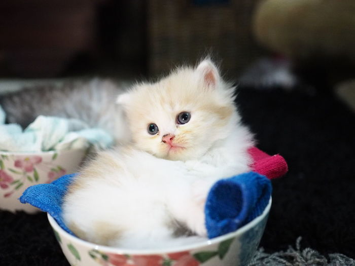 Domestic Cat Pets Cute Domestic Animals Kitten Feline Looking At Camera Blue Portrait Animal Eye Indoors  Making A Face One Animal No People Animal Themes Close-up Mammal Day Kitten Cuddles Kittens Kittens Of Eyeem Kitten 🐱 Petlover Pets Of Eyeem