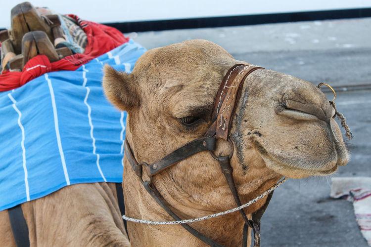 Animals Posing Tunis Tunisia Animal Animal Body Part Animal Head  Animal Themes Bridle Camel Close-up Focus On Foreground One Animal Working Animal