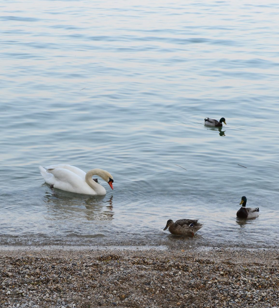 bird, group of animals, water, animals in the wild, lake, animal themes, animal wildlife, animal, swimming, vertebrate, no people, waterfront, water bird, young animal, nature, day, duck, young bird, poultry, animal family, outdoors, floating on water, cygnet, gosling