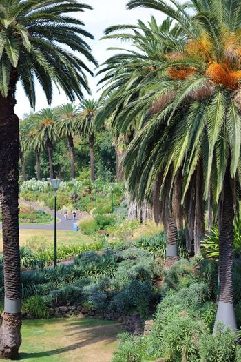 A focused view through some mature Phoenix Palms, to a public garden which borders the Yarra River in Melbourne. Day Depth Of Field Eye4photography  EyeEm EyeEm Gallery EyeEm Nature Lover EyeEmNewHere Flowers Footpaths Green Colour Growth High Angle View Nature Photography Naturelovers Overcast But Beautiful Palm Fronds Palm Trees Phoenix Palms Portrait Photography Potrait Public Garden Selective View Shrubs Tadaa Community Travel Photography