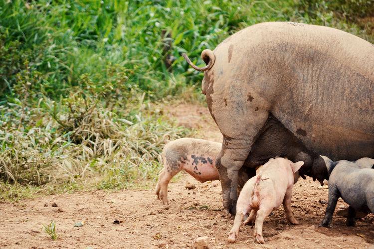 Fazenda em Tuiuti - São Paulo, Dezembro 2015 Animal Animals Baby Babys Beautiful Family Farm Farm Life Feed  Feeding  Life Nature Nature, Natureza Picoftheday Pigs Pink