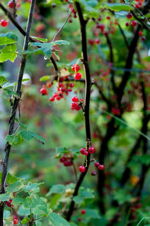 Ripe red currants growing on red currant bush Currant Bush Growing Redcurrant Bush Close-up Currants Day Focus On Foreground Food And Drink Freshness Fruit Garden Green Color Growth Leaf Nature No People Outdoors Plant Red Red Currant Red Currants Redcurrants Ripe