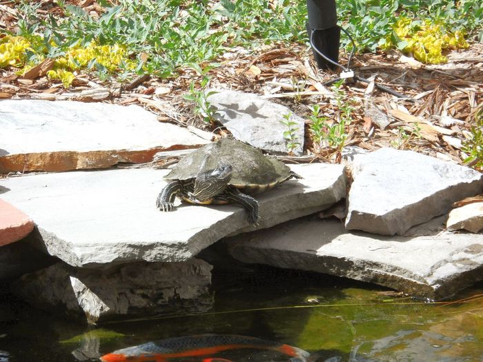 Reptile Turtle 🐢 Pond Backyard Ponds