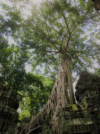 banyan and ruins Beauty In Nature Beauty Of Decay Forest Growth Nature Roots Of Tree Ruins Superior