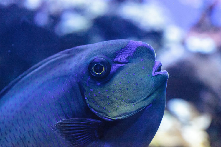 Bignose unicornfish known as Naso vlamingii in a coral reef Animal Themes Animal Wildlife Animals In The Wild Bignose Unicornfish Close-up Coral Reef Day Eye Fish Marine Fish Naso Vlamingii Nature No People Ocean One Animal Sea Sea Life Tang Tropical Fish UnderSea Underwater Unicornfish