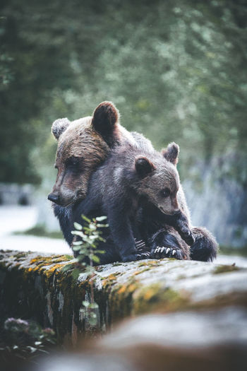 Touching emotional moment of a wild mother bear hugging her cub on shoulder of famous road called Transfagarasan, Sibiu EyeEm Best Shots Love Affection Animal Animal Themes Animal Wildlife Animals In The Wild Bear Bears Hugging Day Emotional Forest Group Of Animals Land Mammal Nature No People Outdoors Selective Focus Tree Two Animals Vertebrate Wild Bear Wilderness Wildlife And Nature