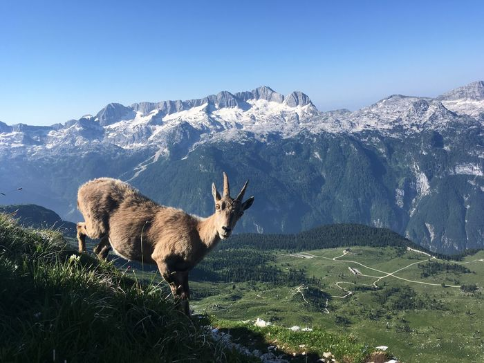 Ibex in a field