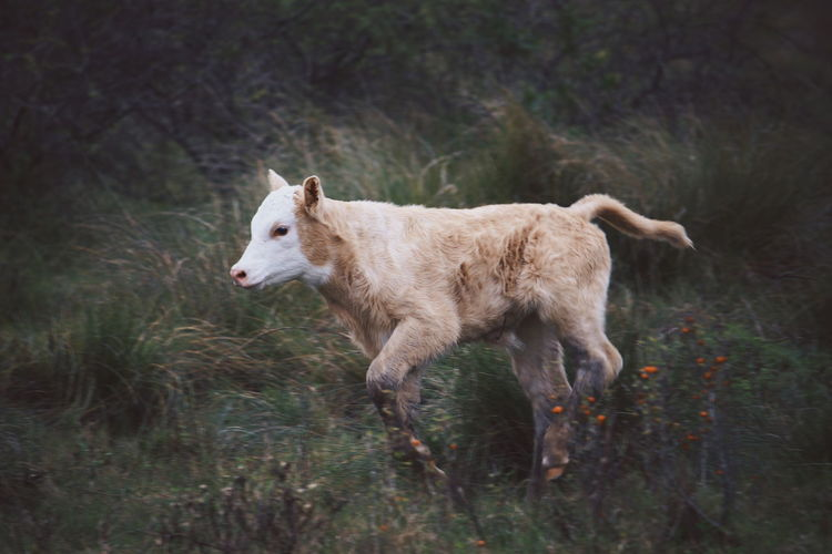 Calf on grassy field