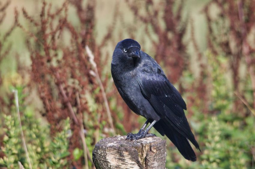 Bird Perching Tree Raven - Bird Bird Of Prey Close-up Blackbird Beak HEAD Crow Animal Neck