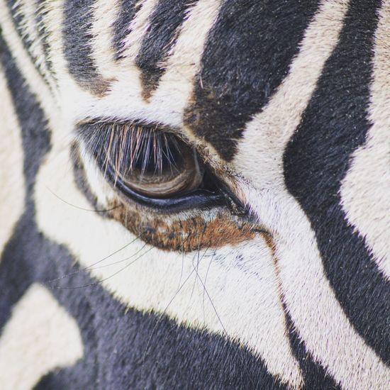 The zebra. Animal Themes Close-up Extreme Close-up Animal Eye Zebra Nikon Nikond3300 Nikonphotography