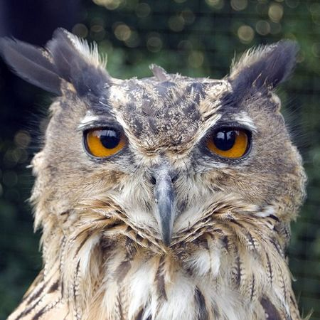 Bird Eagleowl Owl Rescue Conservation Protected Wildlife Lifeasiseeit Johnnelson