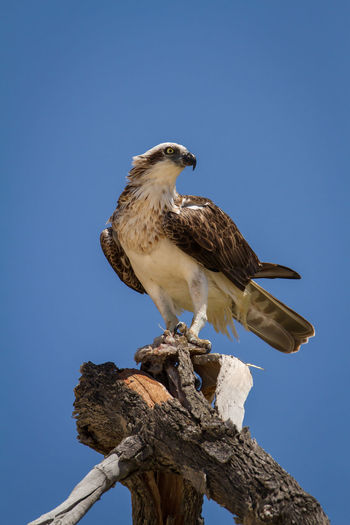 Low angle view of hawk perching on wood against clear sky