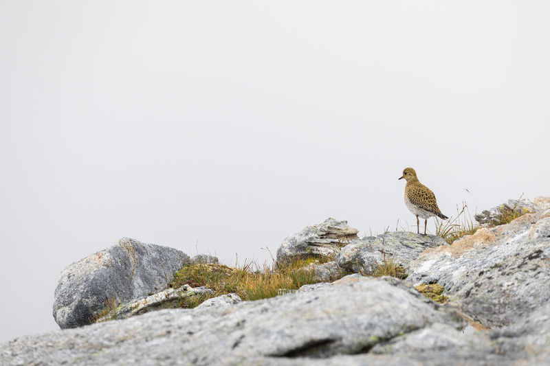 Beautiful golden plover sitting on a rock against clouds Golden Plover Looking Away Rear View Standing Animal Themes Animal Wildlife Animals In The Wild Arctic Beauty In Nature Bird Cloud - Sky Copy Space Day Full Length Mountain Nature No People Nordland County One Animal Outdoors Perching Plover Rock - Object Side View White Background