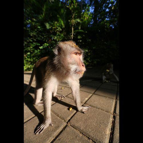 Animal Bali Beauty In Nature Monkey Forest Ubud Nature One Animal Travel Wild