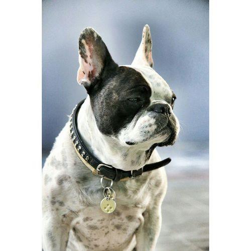 Frenchzone Frenchieoftheday Dogs Pug Pugs Dogsoninstagram Doggy Gonzothunder Gtcompany Bully Frenchzoneonly Bullyfun Canon Canon_official Frenchies Bulldogs Portrait Customportrait