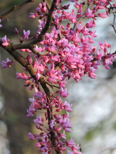 Red Buds Flower Flowering Plant Plant Fragility Pink Color Growth Vulnerability  Freshness Beauty In Nature Petal Animal Themes Close-up Animal Animals In The Wild Blossom Flower Head One Animal Animal Wildlife Springtime Day No People Outdoors Purple Pollination Cherry Blossom
