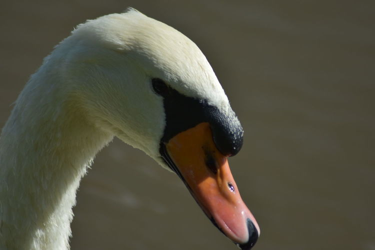 Animal Head  Animal Themes Animal Wildlife Animals In The Wild Beak Bird Close-up Day Nature No People One Animal Outdoors Portrait Swan Swanportrait Swimming Animal Water Water Bird White Color