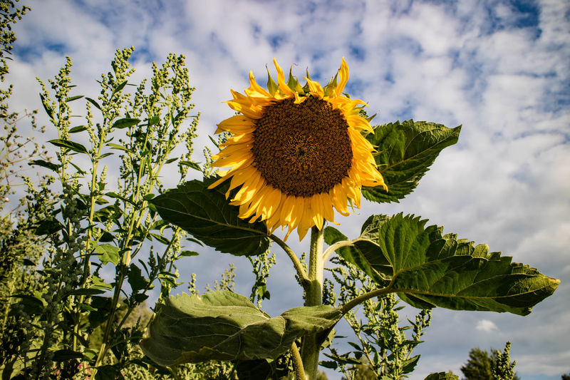 Beauty In Nature Blooming Close-up Day Flower Flower Head Fragility Freshness Growth Leaf Low Angle View Nature No People Outdoors Petal Plant Sky Sunflower Yellow