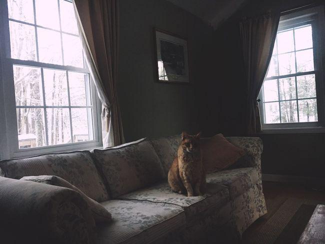Window Indoors  Domestic Cat Mammal Feline Home Interior Day