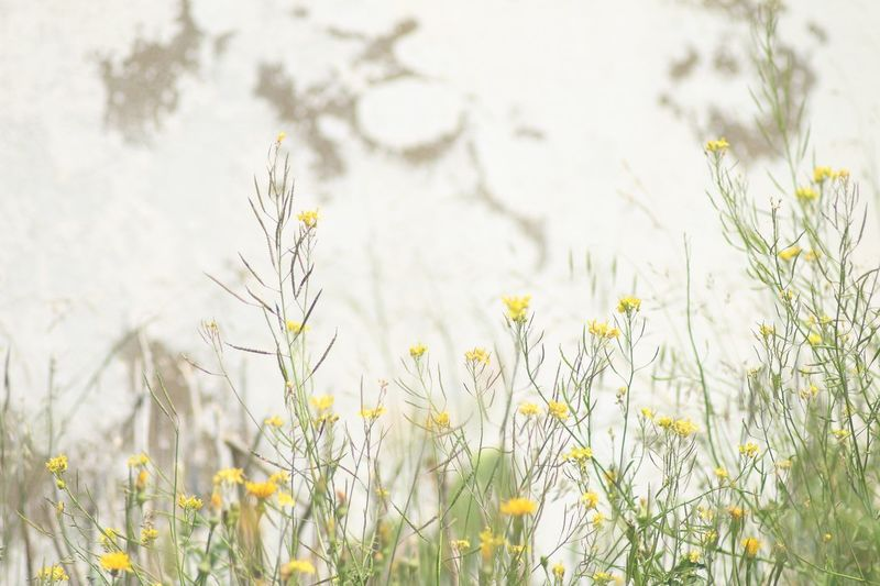 Good morning :) Simple Quiet Love Portbou Atmospheric Mood Tranquil Scene Old Lens No Edit/no Filter White Wall Wall Plant Flowering Plant Flower Growth Beauty In Nature Freshness Field Yellow Tranquility Nature