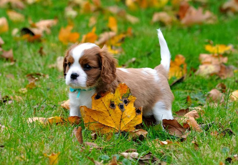 Beautiful Cavalier and Fall Leaves Dog Ckcs Puppy Blenheim First Eyeem Photo Cavalierkingcharlesspaniel Cavalier King Charles Spaniel dog Show Happy EyeEm Best Shots - Autumn / Fall