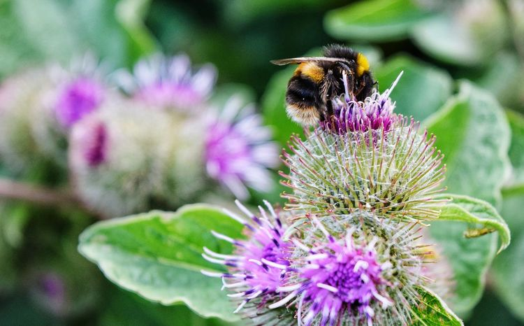 Bumble Bee Purple Flower Insect Nature Fragility Freshness Beauty In Nature Growth Plant Petal Focus On Foreground Pollination No People Thistle Day Bee Flower Head One Insect Cobweb Leaf Sommergefühle