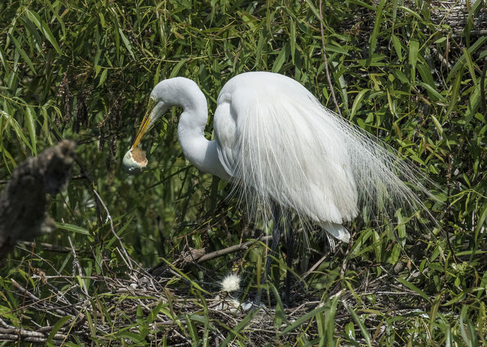Animal Themes Animal Wildlife Animals In The Wild Beak Bird Close-up Day Eggshell Egret Mom Removes Egg Shell Nature No People One Animal Outdoors Water White Color