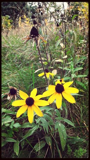 Black-eyed Susans Flowers Nature_collection Outside