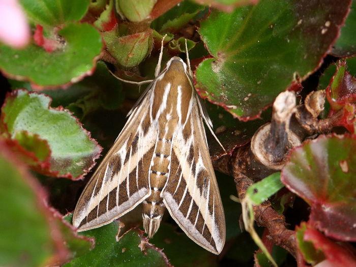 Moth Striped