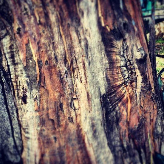 tronc d'eucalyptus