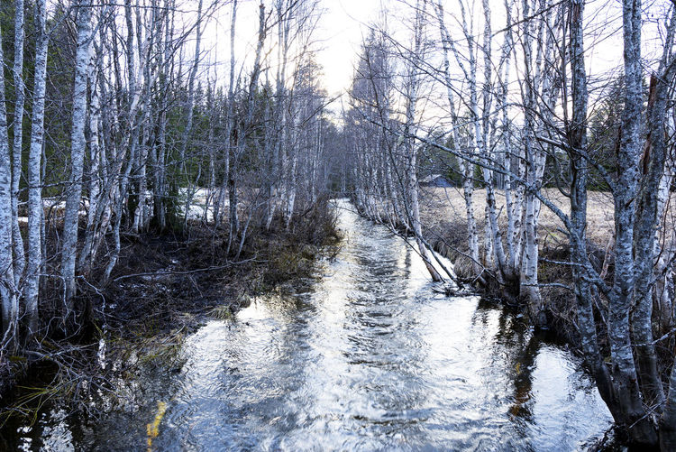 Bare trees by river in forest