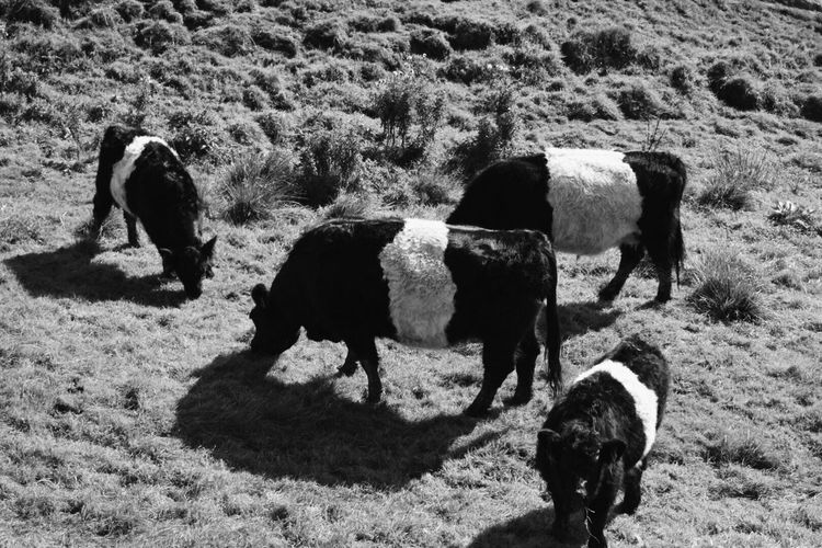 High angle view of cows grazing on field