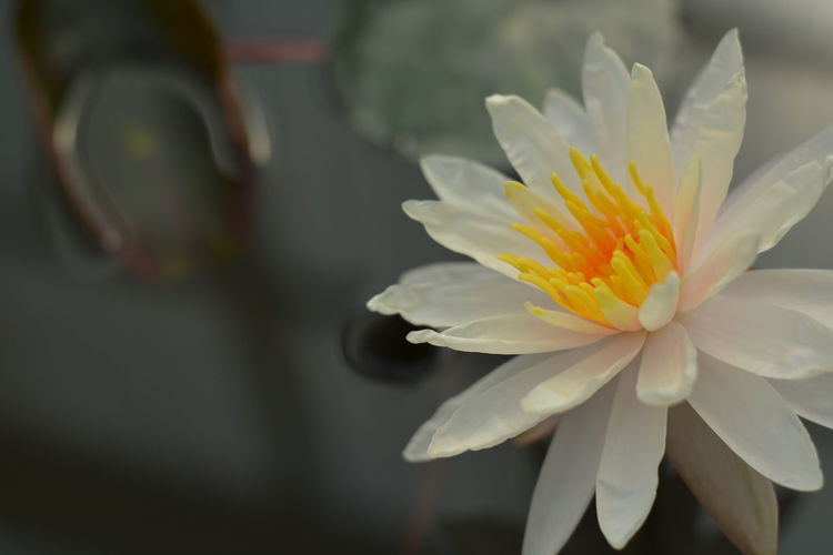 Flower Petal Flower Head Beauty In Nature Fragility Nature Freshness Close-up Water Plant No People Day Growth Stamen Yellow Springtime Outdoors